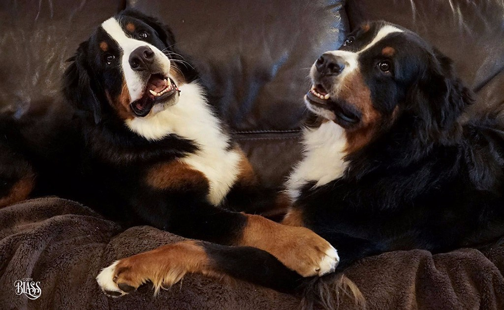 Benese Mountain Dogs